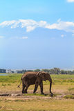 Elefant nära Mount Kilimanjaro africa snow Amboseli Kenya Arkivbild