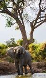 Elefant nära Zambeziet River zambia Fäll ned den Zambezi nationalparken Zambezi River Arkivfoto