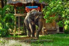 Elefant na selva foto de stock