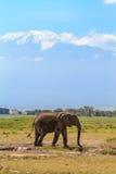 Elefant nahe Mount Kilimanjaro Schnee in Afrika Amboseli, Kenia stockfotografie