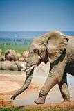 Elefant nahe Pool vorbei gehend Lizenzfreie Stockbilder