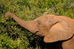 Elefant, Nationalpark Addo Elefanten, Südafrika Stockbilder
