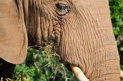 Elefant, Nationalpark Addo Elefanten, Südafrika Lizenzfreies Stockfoto