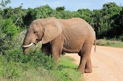 Elefant, Nationalpark Addo Elefanten, Südafrika Stockfoto