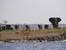 Elefant in Nationalpark Chobe Lizenzfreies Stockbild