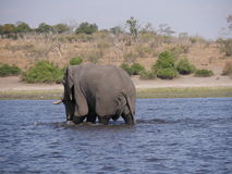 Elefant in Nationalpark Chobe lizenzfreies stockfoto