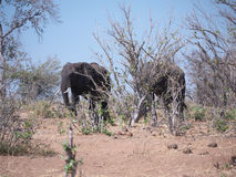 Elefant in Nationalpark Chobe Stockbild