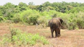 Elefant in Nationalpark Yala, Sri Lanka stock video footage