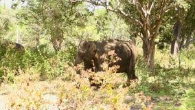 Elefant in Nationalpark Yala, Sri Lanka stock footage