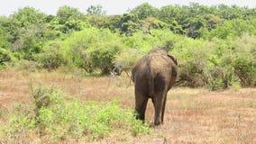 Elefant in Nationalpark Yala, Sri Lanka stock video