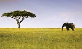 Elefant- och akaciaträdSerengeti nationalpark Arkivbilder