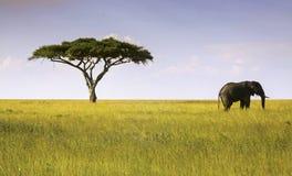 Elefant- och akaciaträdSerengeti nationalpark Arkivfoton