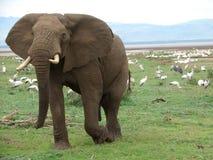 Elefant och fåglar i Afrika Royaltyfri Fotografi