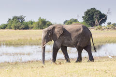 Elefant och flod Arkivbilder