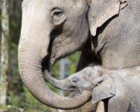 Elefant och kalv Royaltyfria Bilder