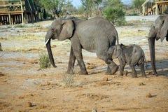 Elefant och kalv på en loge arkivbild