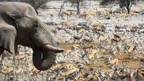 Elefant och springbock som dricker på waterhole i den Etosha nationalparken arkivbild