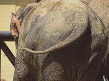 Elefant od plecy w zoo w Bavaria w Augsburg obraz stock