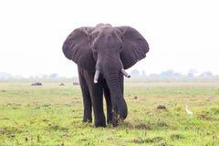 Elefant på ön i den Chobe floden Arkivfoto