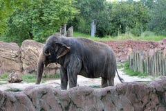Elefant på Busch trädgårdar i Tampa Florida Arkivfoto