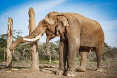 Elefant på den Chitwan nationalparken, Nepal Arkivfoto