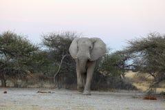 Elefant på den Nxai pannan NP Royaltyfria Foton
