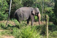 Elefant på en kedja i det Pinnawela barnhemmet Royaltyfria Foton