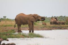 Elefant på en waterhole Royaltyfri Bild