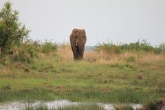 Elefant på en waterhole Royaltyfri Fotografi