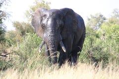 Elefant på framdelen royaltyfria foton