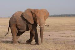 Elefant på lätthet Arkivfoton