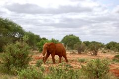Elefant på safari Arkivbild
