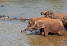 Elefant på Sri Lanka Fotografering för Bildbyråer