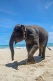 Elefant på stranden Arkivbilder