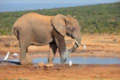 Elefant på Waterhole Royaltyfria Foton