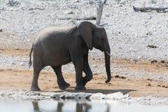 Elefant på Waterhole Arkivbilder