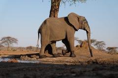 Elefant på waterhole på den Senyati safari Royaltyfri Fotografi