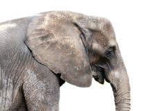 Elefant på white Arkivfoto
