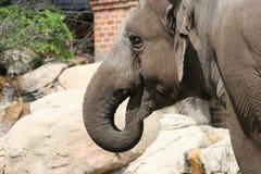 Elefant på zoo Arkivfoto