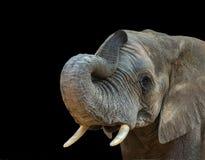 Elefant-Porträt auf schwarzem Hintergrund Stockfotografie