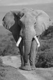 Elefant-Portrait Stockbild