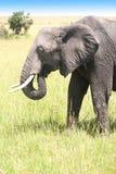 Elefant que anda no savana Fotografia de Stock