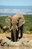 Elefant in Südafrika lizenzfreie stockbilder