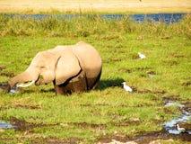 Elefant. Safari Africa Elefant Wildlife National Park Royalty Free Stock Photo