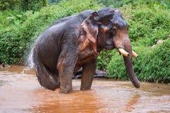 Elefant se reposant en rivière dans la forêt tropicale du sanctuaire de Khao Sok Image libre de droits