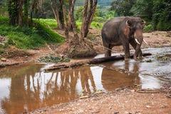 Elefant se tenant en rivière dans la forêt tropicale du sanctuaire de Khao Sok, Thaïlande Images stock