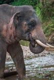 Elefant se tenant en rivière dans la forêt tropicale du sanctuaire de Khao Sok, Thaïlande Image libre de droits
