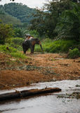 Elefant se tenant prêt la rivière dans la forêt tropicale du sanctuaire de Khao Sok, Thaïlande Photo libre de droits