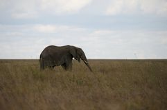 Elefant in Serengeti stockfotos