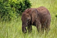 elefant små kenya Arkivbild